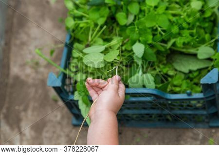 Close-up Of A Childs Hand Holding A Blade Of Grass In The Greenhouse Of A House