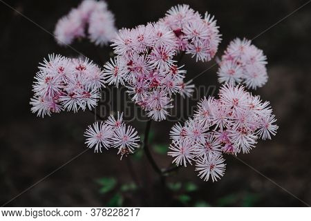 Pink Small Flowers In Inflorescences On A Dark Background