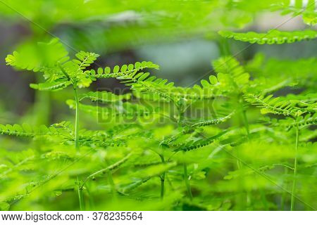 Phyllanthus Niruri Herb Plant And Other Name, Seed-under-leaf, Phyllanthus Amarus Schumach & Thonn.