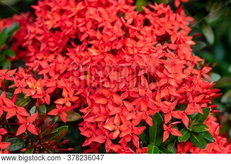 Ixora Chinensis Lamk,beautiful Red Flower Suitable As A Background.