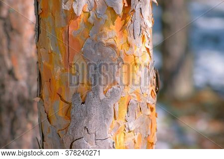 Pine Trunk With Wood Bark And Beautiful Natural Texture With Cracks In Forest, Closeup View. Old Tre