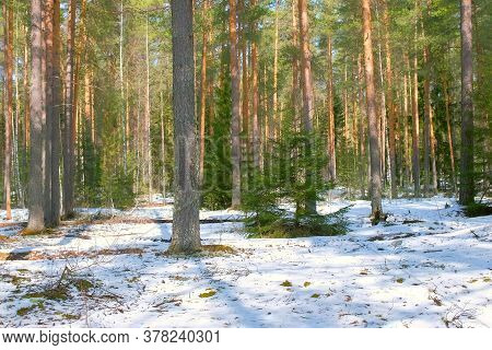 Scenery Landscape With Pine Tree Forest Covering Snow In Winter. Changing Seasons Transition From Wi