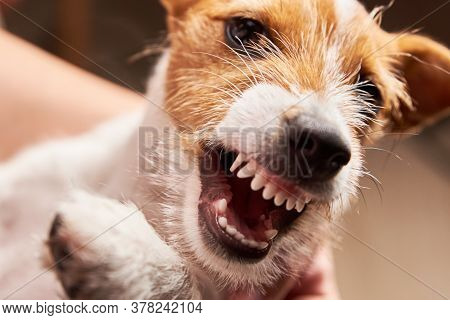Aggressive Dog With A Bared Fangs. Grinning Puppy Jack Russell Terrier