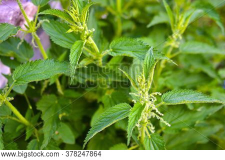 Green Prickly Nettle Bushes In The Garden