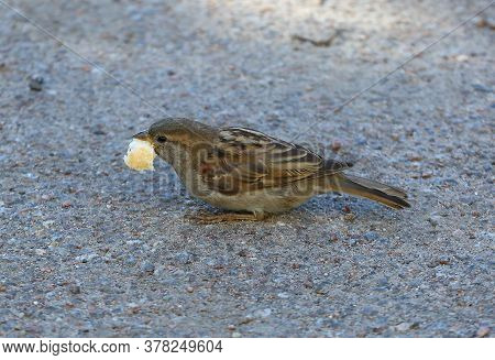 A Small Sparrow With A Piece Of Bread In Its Beak On The Asphalt