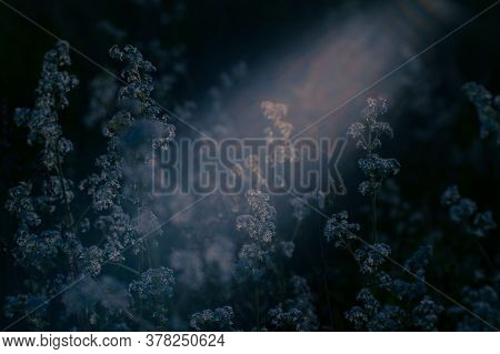 Meadow Plants In White Flowers In The Moonlight. Background