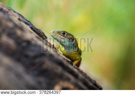 Bright Green Lizard Sitting On A Stone