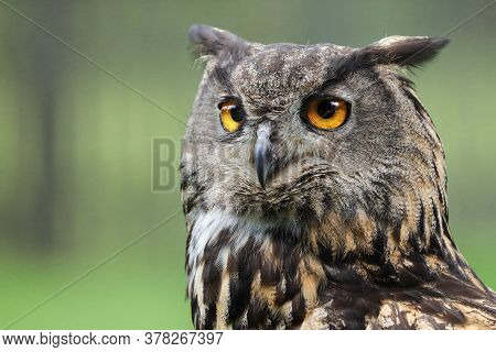 View Of An Owl In The Camera.  Portrait Of An Owl On A Green Background. Detail Bubo Bubo.