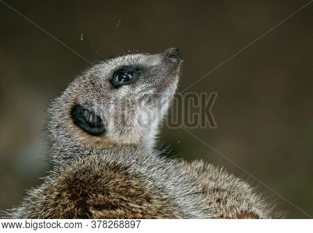 The Meerkat ( Suricata Suricatta) Or Suricate Is A Small Carnivoran In The Mongoose Family. It Is Th