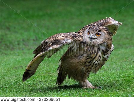 The Eurasian Eagle-owl Is A Species Of Eagle-owl That Resides In Much Of Eurasia. It Is Also Called