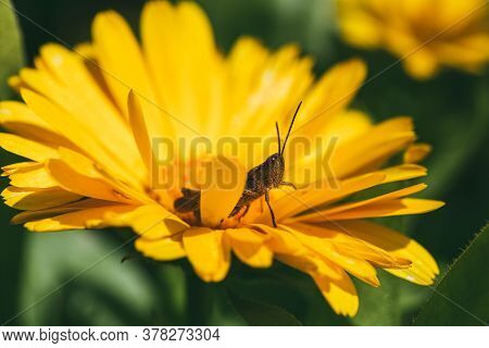 The Grasshopper Is Sitting Inside Bright Orange Marigold Flowers. Extreme Closeup Selective Focus Ma