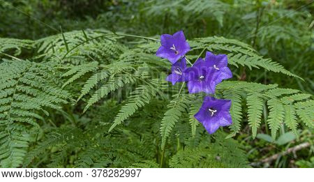 Beautiful Forest Flowers In The Form Of Blue Bells. Wald Peachleaf Bellflower Blau Lila Blumen Auf D