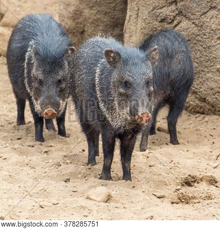 Group Of Peccary Pigs In The Desert