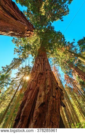 Close Up Of Sequoia Tree In Sequoia And Kings Canyon National Park In The Sierra Nevada In Californi