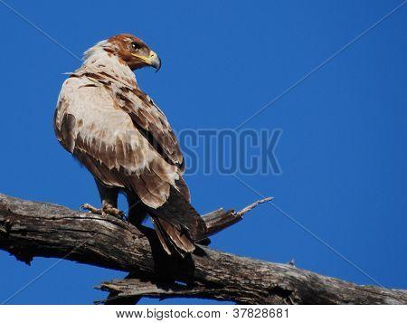 Eagle in Kruger Park
