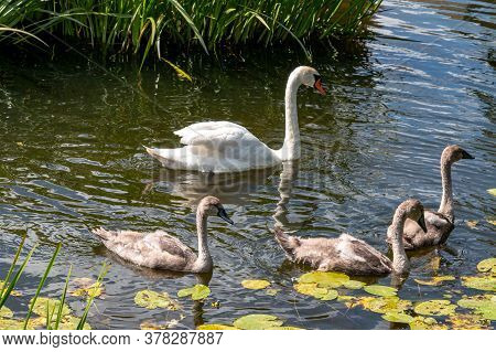 Swan Cubs Swim In The Lake. Swans In The Lake.