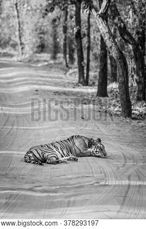 Black And White Image Of Wild Female Tiger Resting On Forest Track At Bandhavgarh National Park Or T
