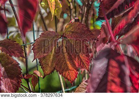 Girlish Grapes Leaves Red