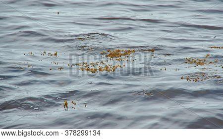 White Sea Fucus Belomorsky , Brown Algae,  Genus Of Brown Algae Found In The Intertidal Zones Of Roc