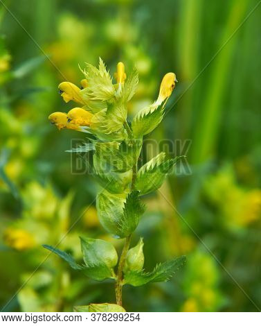 Rhinanthus Angustifolius,   Narrow-leaved Rattle Or Greater Yellow-rattle,  Annual Wildflower Native