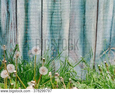 Grass And Dandelions On The Background Of Old Shabby Wooden Boards Close-up