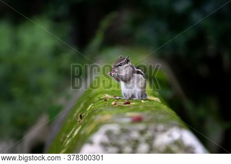 Three Striped Palm Squirrel Or Indian Palm Squirrel Eating Peanut While Sitting On A Wall