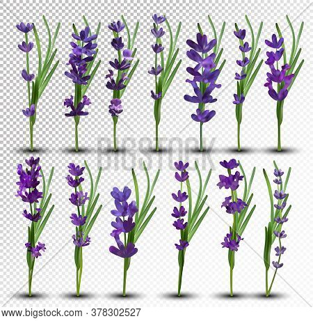 Bunch Beautiful Violet Flowers. Lavender Isolated On White Background. Fragrant Bunch Lavender. Tend