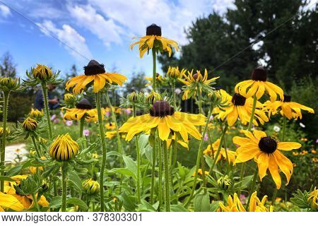 Echinacea Flowers On Green Nature Background, Closeup. Yellow Flowers For Herbal Medicine. Patch Of
