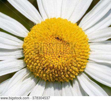 Full Frame Detail Shot Of A Ox-eye Daisy Flower Head