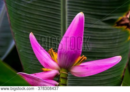 Closeup Of A Pink Banana Plant Flower, Tropical Plant Specie From Australia