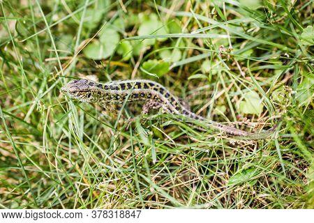 Lizard (lat. Lacerta Agilis) In The Natural Habitat During The Mating Season.