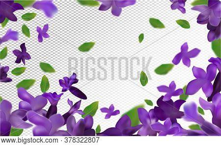 Lavender Background. Beautiful Lavender With Green Leaf On Transparent Background. Violet Flower Lav