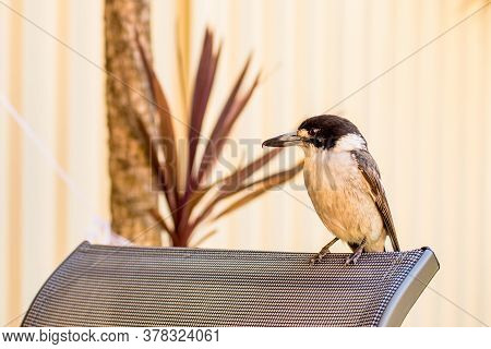 Close Up Of Young Grey Butcherbird Baby Chick Sitting On A Chair. The Grey Butcherbird, Cracticus To