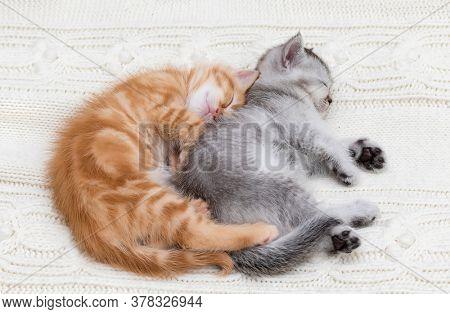 Two british kittens sleep together