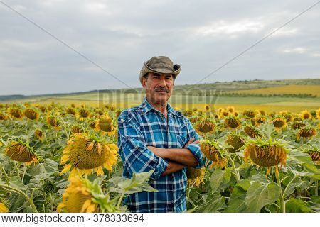 Farmer In A Sunflower Field. Senior Farmer Man Is Standing In A Sunflower Field With A Blue Sky Back
