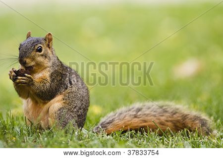 A squirrel eating a nut in summertime poster