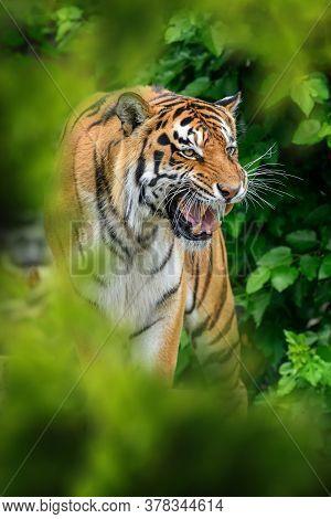 Tiger, Wild Animal In The Natural Habitat