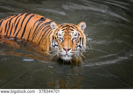 Tiger Swimming In Water Pond. Wild Animal In The Nature Habitat