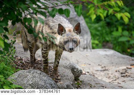 Striped Hyena, Hyaena Hyaena. Animal In The Nature Habitat