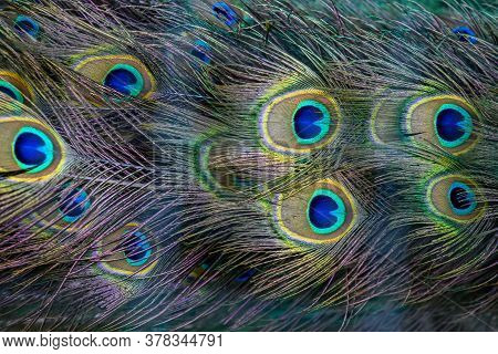 Close Peacock Wing Swan Feather Texture Background