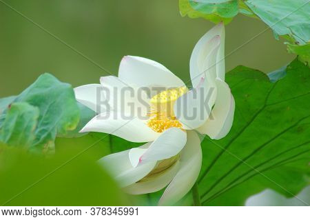 Close Up On White Lotus Flower With Green Leaves
