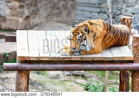 A Large Striped Tiger Lies Calmly In The Sun On A Wooden Platform And Looks Sadly In Front Of Him, C