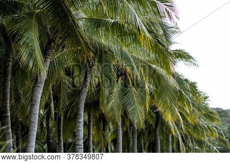 Palm Grove Trees In A Row, Tropical Background. High Quality Photo