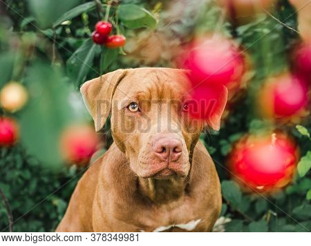 Lovable, Pretty Puppy Of Chocolate Color. Closeup