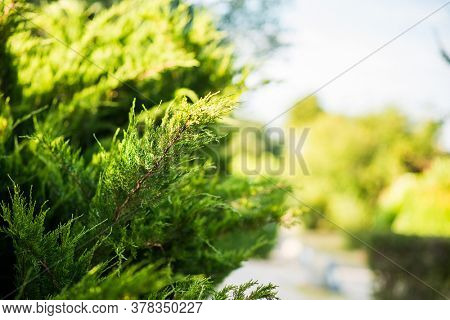 Juniper Branch. Close up View with Blurred Background. Juniper Tree Texture Background. Evergreen Coniferous Juniper Bright Green Color Surface.