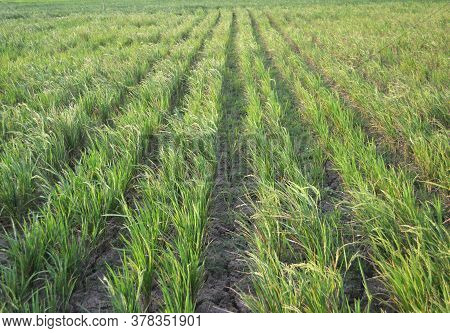 Landscape With Green Rice Field Neatly Arranged In Asia With Tropical Climate