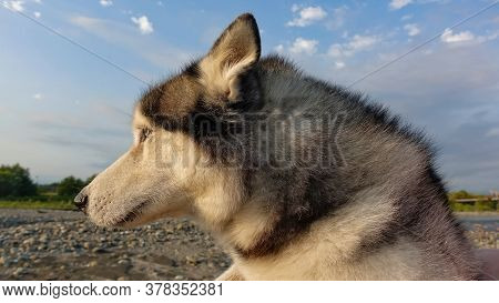 Portrait Of A Husky Dog On A Background Of Blue Sky In The Rays Of The Setting Sun. The Dog Is In Pr