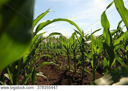 Closeup View Of Corn Growing In Field. Agriculture Industry