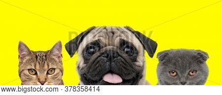 couple of animals consisting of a metis cat, Pug dog and Scottish Fold cat are standing side by side and looking ahead while panting on yellow background