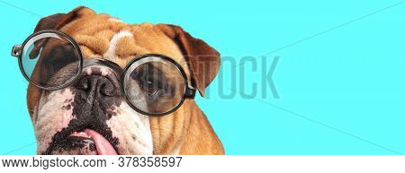 close up of a English Bulldog dog licking his mouth, wearing eyeglasses on blue background
